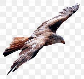 Eagle Fly - Flight Bird PNG