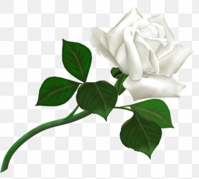 White Rose Image, Flower White Rose Picture - Rose White Clip Art PNG