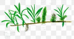 Tree - Salix Viminalis Tree Arecaceae Branch Leaf PNG