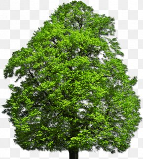 Vector Top Tree - Shrub Tree Desktop Wallpaper Plant PNG