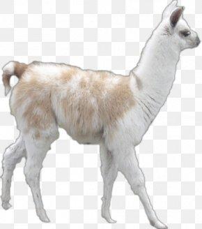 Goat - Llama Alpaca Goat Clip Art PNG