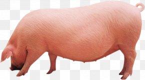 Pig - Danish Landrace Pig Fodder Soybean Meal U540eu5907u6bcdu732a Agriculture PNG