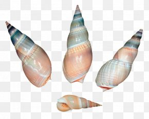 Sea Snail Shells - Seashell Sea Snail Clip Art PNG
