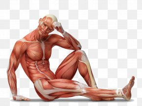Human Anatomy - Muscle Tissue Human Body Muscular System Anatomy PNG