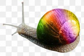 Snail - Snail Orthogastropoda PNG