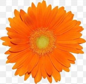 Gerbera - Flower Orange Transvaal Daisy Garden Roses Common Daisy PNG