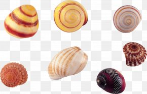Shell,conch - Seashell Conch Wallpaper PNG