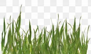 Grass Image, Green Picture - Grasses Clip Art PNG