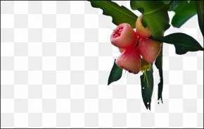 Wax Apple Tree Picture Material - Apple Crisp Java Apple Fruit PNG