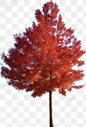 Trees - Red Maple Japanese Maple Sugar Maple Tree Clip Art PNG