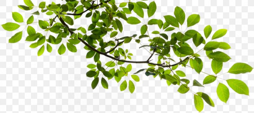 Tree Branch Clip Art, PNG, 846x378px, Tree, Branch, Herb, Herbalism, Image File Formats Download Free