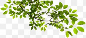 Tree Branch Transparent - Tree Branch Clip Art PNG