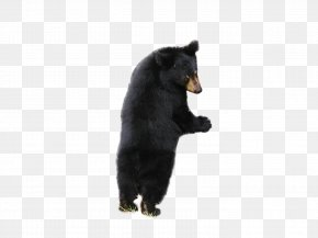 Bear - American Black Bear Polar Bear PNG