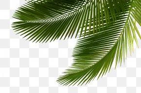 Palm Tree - Arecaceae Asian Palmyra Palm Leaf Tree Sabal Palm PNG