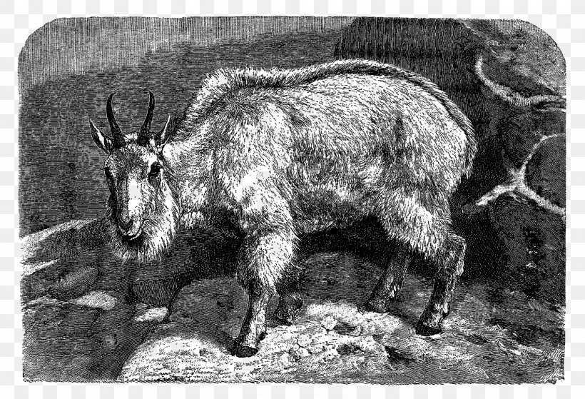 Feral Goat Barbary Sheep Caprinae Cattle, PNG, 1600x1091px, Goat, Animal, Antelope, Barbary Sheep, Black And White Download Free