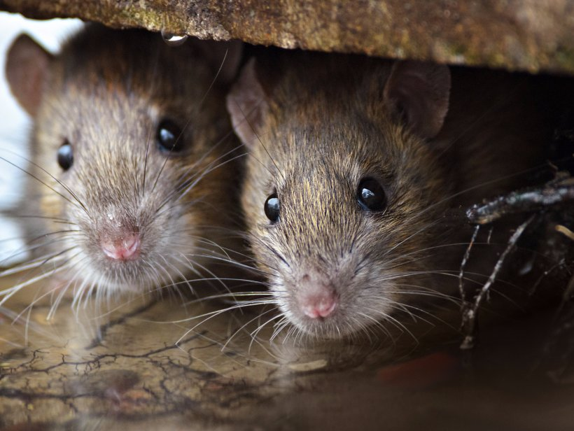 Brown Rat Mouse Rodent Black Rat Pest Control, PNG, 2104x1583px, Brown Rat, Black Rat, Dormouse, Exterminator, Fauna Download Free