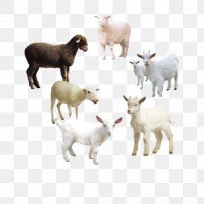 Sheep - Sheep Goat Clip Art Image PNG