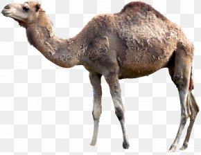 Camel - Dromedary Material Hair PNG