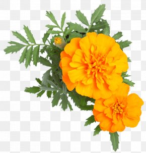 Orange Romantic Flowers - Stock Photography Cut Flowers IStock English Marigold PNG