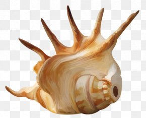 A Conch - Seashell Conch Mollusc Shell Wallpaper PNG