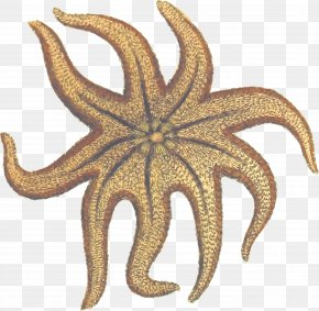 Starfish - Starfish Invertebrate Solaster Endeca Clip Art PNG
