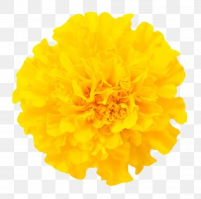 Marigold Close Pictures Free Download - Mexican Marigold Chrysanthemum Flower Euclidean Vector PNG
