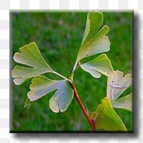 Ginkgo-biloba - Leaf Broad-leaved Tree London Plane Albizia Julibrissin PNG