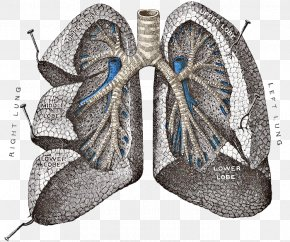 Lungs PNG Transparent Images - Gray's Anatomy Lung Respiratory System PNG