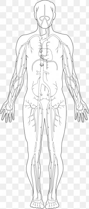 Free Anatomy Images - Human Body Homo Sapiens Diagram Hand Clip Art PNG