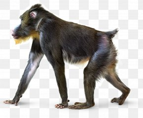 Monkey - Smithsonian Institution National Museum Of Natural History Primate Mandrill Gray Langur PNG