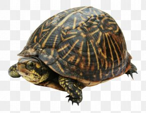 Turtle - New Guinea Snapping Turtle Pig-nosed Turtle PNG