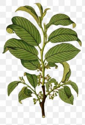 Green Leaves - Branch Leaf Illustration PNG