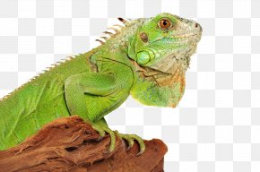 Iguana Photo - Lizard Green Iguana Reptile PNG