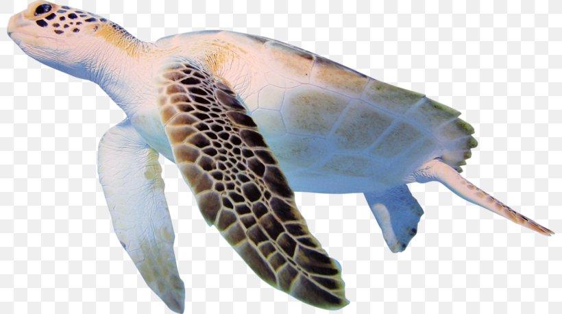 Turtle Cheloniidae Clip Art, PNG, 800x458px, Turtle, Cheloniidae, Emydidae, Fauna, Fish Download Free