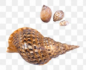 Transparent Sea Snails Shells Picture - Seashell Beach Sea Snail PNG