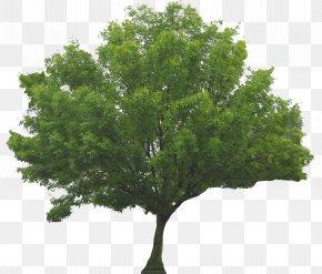 Trees - Tree Shrub Branch PNG