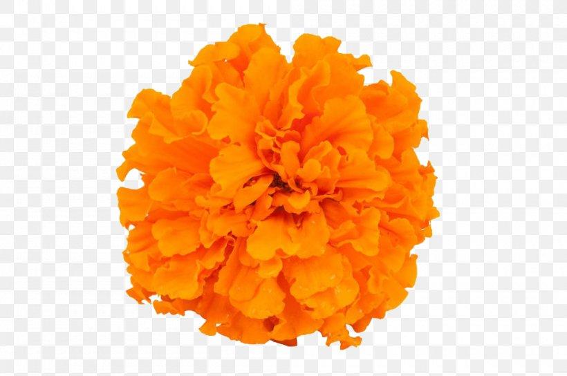 Mexican Marigold Calendula Officinalis Flower, PNG, 1000x664px, Mexican Marigold, Calendula Officinalis, Chrysanthemum, Flower, Marigold Download Free
