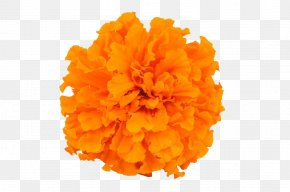 Marigold Photography - Mexican Marigold Calendula Officinalis Flower PNG