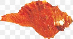 Conch - Mollusc Shell Conchology Seashell PNG