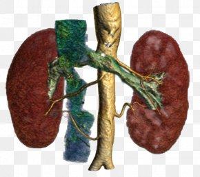 Kidney - Organism PNG