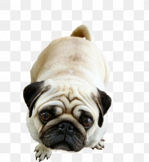 Cute Pug - Pug Golden Retriever French Bulldog Puppy PNG