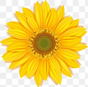 Sunflower - Common Sunflower Stock Photography Clip Art PNG