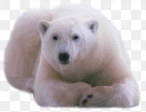 Polar White Bear - Polar Bear DVTK Jegesmedvék PNG