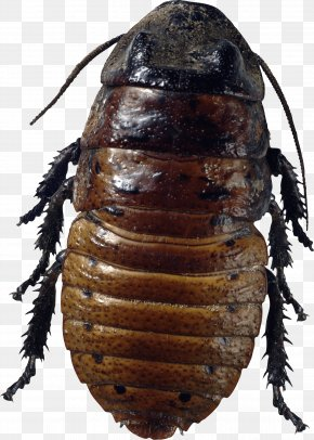 Roach Bug Image - Florida Woods Cockroach Insect American Cockroach Bed Bug PNG