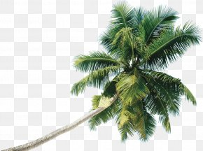Coconut - Coconut Tree Clip Art Date Palm PNG