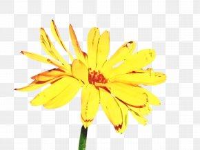 Pollen Euryops Pectinatus - Blossom Flower PNG