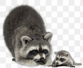 Raccoon - Raccoon Infant Mother Coyote Stock Photography PNG