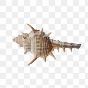 Brown Conch Art - Seashell Fauna Conch PNG