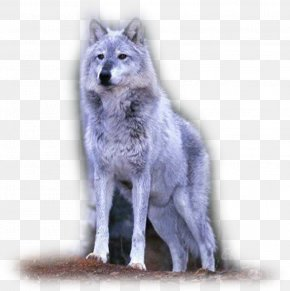 Saarloos Wolfdog Tamaskan Dog Coyote Alaskan Tundra Wolf PNG