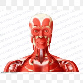 Head And Neck Anatomy Anterior Triangle Of The Neck Muscle Human Body PNG